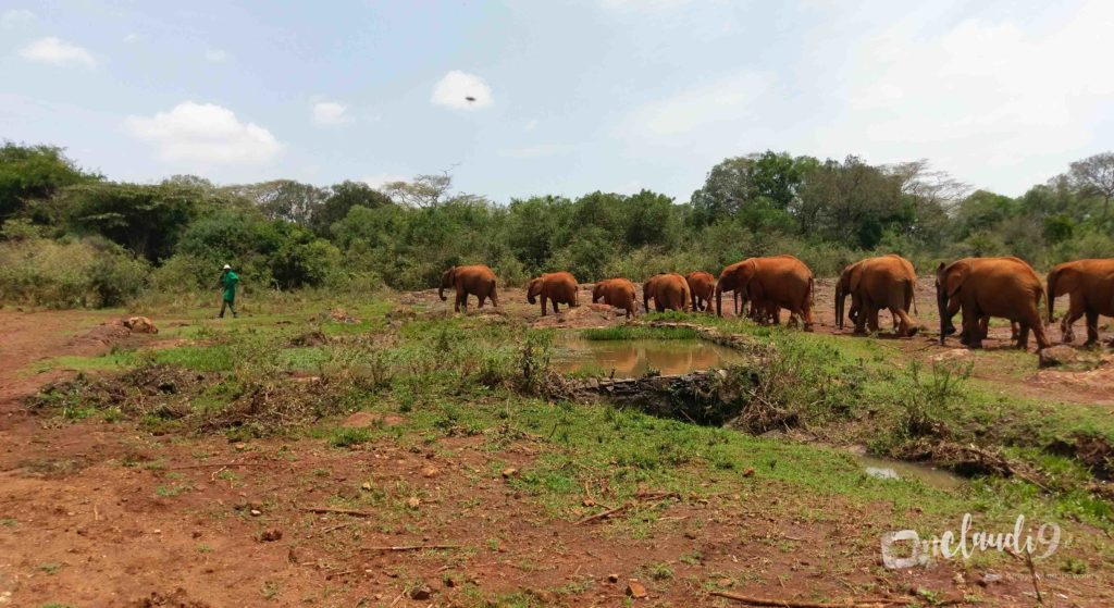 This is at the David Sheldricks Elephant Orphanage in Nairobi.