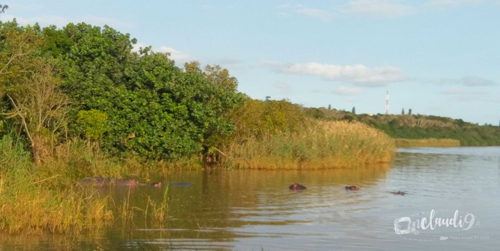 These are hippos on a boatssafari in St. Lucia South Africa.